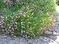 Chironia laxa in Kirstenbosch IMG 1643.jpg
