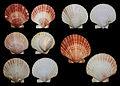 Chlamys opercularis 6 a.jpg