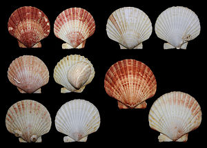 Queen scallop - Several shells of queen scallop