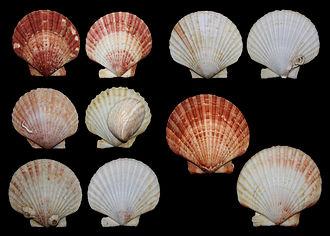 Queen scallop - Several shells of queen scallop