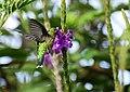 Chlorostilbon melanorhynchus (Esmeralda occidental) - Hembra - Flickr - Alejandro Bayer.jpg