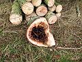 Choroby drzew 1 (ubt).JPG