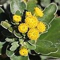 Chrysanthemum kinokuniense (flower s6).jpg
