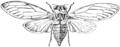 Cicada orni illustration.png