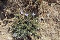 Cichorium spinosum kz05.jpg