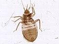 Cimex lectularius (YPM IZ 093683).jpeg