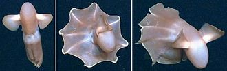 Three images in sequence of a two-finned sea creature swimming with an 8-cornered web