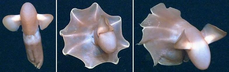 Cirroteuthis muelleri NOAA