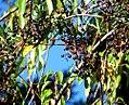 Cissus striata - fruits by Inao Vásquez.jpg