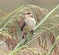 Cisticola pipiens, Kateque, Birding Weto, a.jpg