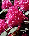 City of London Cemetery - deep pink rhododendron flower.jpg
