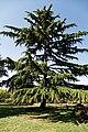 City of London Cemetery Memorial Gardens cedar tree 3.jpg