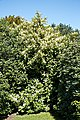 City of London Cemetery and Crematorium ~ flowering common laurel.jpg