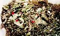 Cladonia pleurota-3.jpg