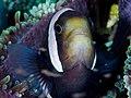 Clarks anemonefish (Amphiprion clarkii) (43629309380).jpg