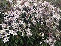 Clematis montana - London 3.jpg