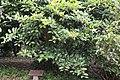 Cleyera japonica, Hangzhou Botanical Garden 2018.06.03 16-09-44.jpg