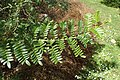 Clianthus maximus kz03.jpg