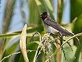 Cliff Swallow - juvenile (30204390408).jpg