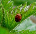 Coccinellidae. 2-spot Ladybird.Adalia bipunctata form annulata - Flickr - gailhampshire.jpg
