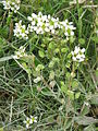 Cochlearia officinalis04.jpg