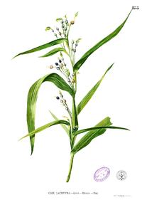 Coix lacryma-jobi Blanco1.188