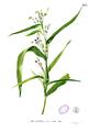 Coix lacryma-jobi Blanco1.188.png