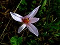 Colchicum autumnale IMG 6786^.jpg