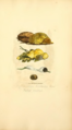 Coloured Figures of English Fungi or Mushrooms - t. 399.png