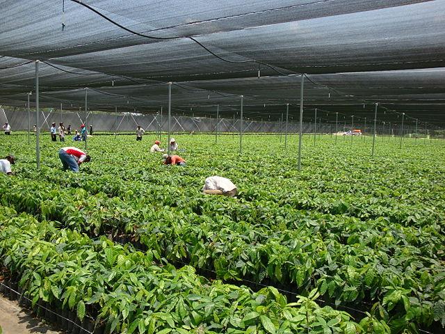 File comalcalco invernadero de cacao jpg wikimedia commons Plantas de invernadero