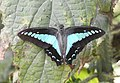 Common Bluebottle Graphium sarpedon UP by Dr. Raju Kasambe DSCN1849 (12).jpg