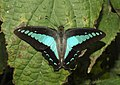 Common Bluebottle Graphium sarpedon UP by Dr. Raju Kasambe DSCN1849 (14).jpg