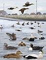 Common Eider from the Crossley ID Guide Britain and Ireland.jpg