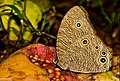 Common Evening Brown-Payyanyr-DSC 1539.jpg