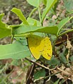 Common Grass Yellow - Eurema hecabe 2.JPG