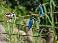 Common Kingfishers and House Sparrow (14570707261).jpg