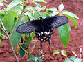 Common Mormon (Papilio polytes) at IG Zoo Park 02.jpg