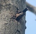 Common Myna- At nest I IMG 6125.jpg
