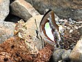 Common Nawab Polyura athamas by Dr. Raju Kasambe DSCN5879 (3).jpg