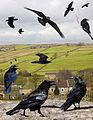 Common Raven from the Crossley ID Guide Britain and Ireland.jpg