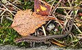 Common Wall Lizard - Podarcis muralis, Saanichton, British Columbia.jpg