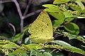 Common emigrant (Catopsilia pomona pomona) female underside.jpg