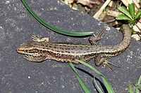 Common lizard (Zootoca vivipara).jpg