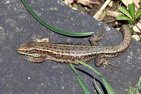 Description de l'image Common lizard (Zootoca vivipara).jpg.