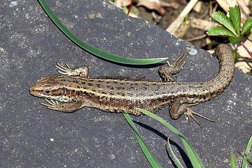 500px common lizard (zootoca vivipara)