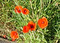 Common red poppies.jpg