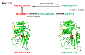 Dihydrofolate reductase - The closed structure was dipicted with red and occluded structure was dipicted with green in the catalytic scheme. In the structure, DHF and THF was shown in red color, and NADPH was shown in yellow color, the Met20 residue was shown in blue color