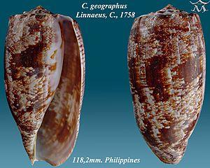 Conus geographus - Image: Conus geographus 1