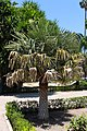 Copernicia alba Jardín botánico de Valencia 02.JPG
