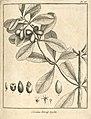 Cordia tetraphylla Aublet 1775 pl 88.jpg